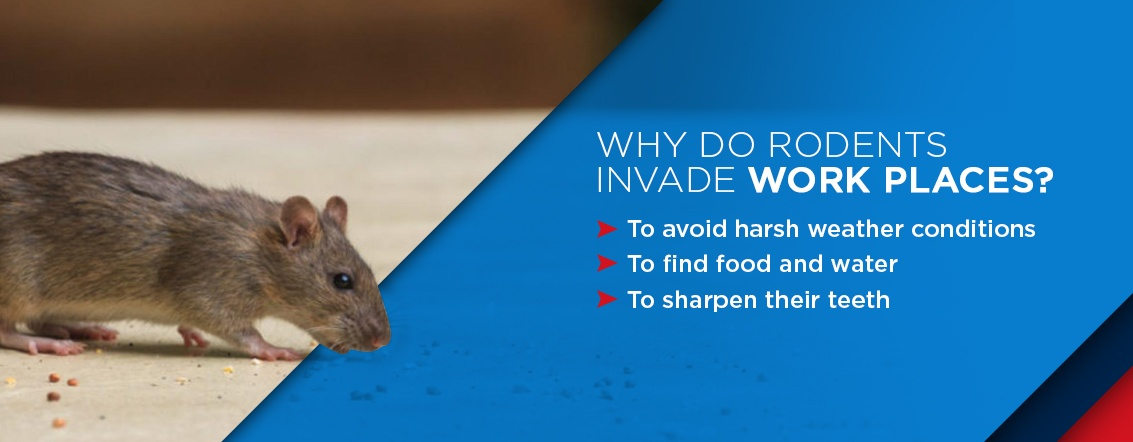 why rodents invade work places