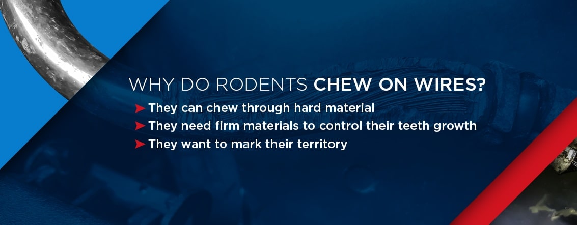 why rodents chew on wires